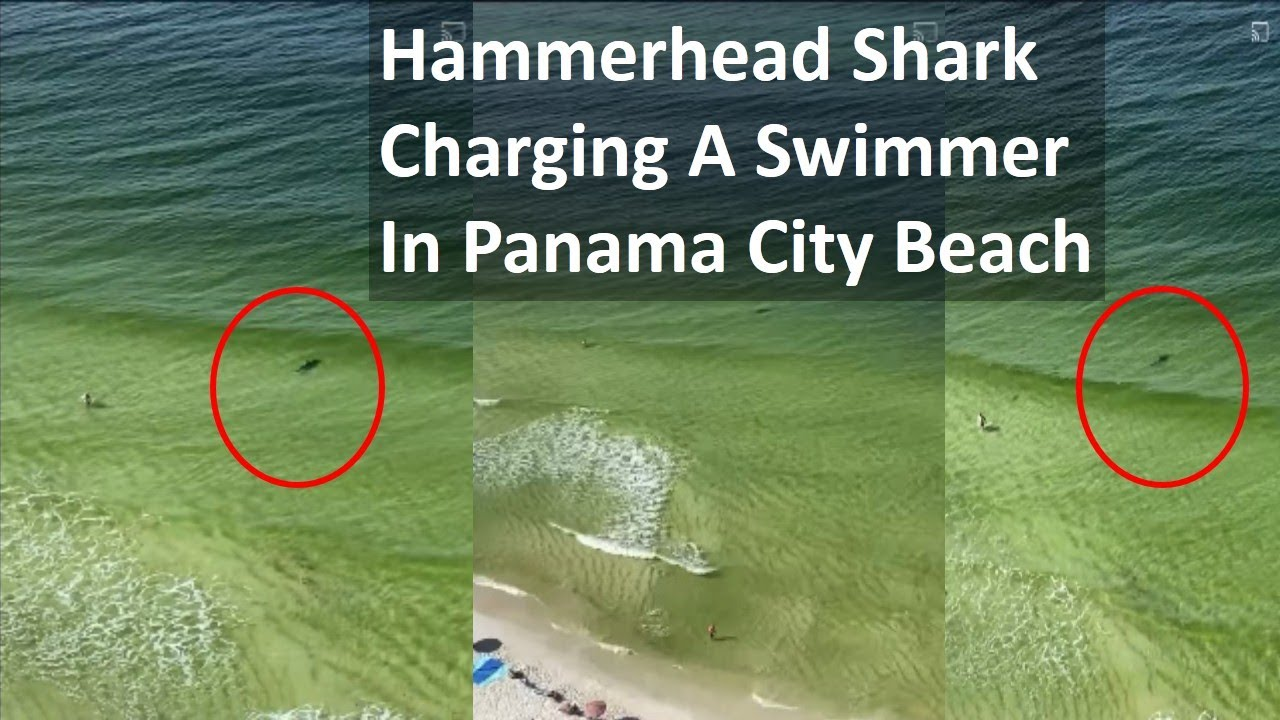 Swimmer narrowly escapes a hammerhead shark attack in Panama City Video details